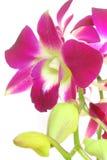 Geïsoleerdew orchidee Stock Afbeeldingen