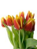 GeïsoleerdeX tulpen Royalty-vrije Stock Fotografie
