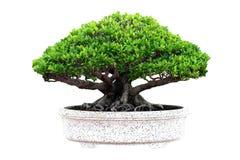 Geïsoleerdez de boom van de bonsai Royalty-vrije Stock Afbeeldingen
