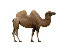 Geïsoleerdez kameel Royalty-vrije Stock Foto's