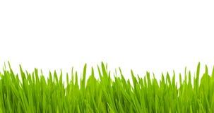Geïsoleerdg gras Royalty-vrije Stock Foto's