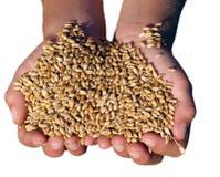 Geïsoleerdg Handvol van gouden oogst Royalty-vrije Stock Afbeeldingen