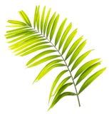Geïsoleerdl palmblad stock fotografie