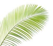 Geïsoleerdl palmblad Royalty-vrije Stock Afbeeldingen