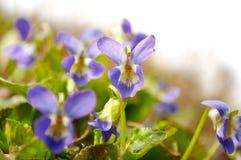 Geïsoleerdl viooltje Stock Afbeelding