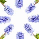 Vastgestelde blauwe hyacint op witte achtergrond Stock Fotografie
