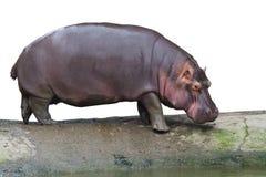 Geïsoleerdo het lopen nijlpaard Stock Foto's