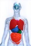 Geïsoleerdo lichaam Stock Afbeelding