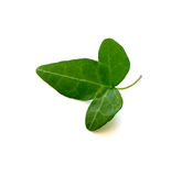 Geïsoleerdr groen klimopblad stock afbeelding