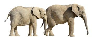 Geïsoleerdr twee Afrikaanse olifanten Royalty-vrije Stock Afbeeldingen