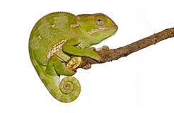 Geïsoleerdt Kameleon royalty-vrije stock foto