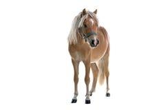 Geïsoleerdt lichtbruin paard stock afbeeldingen