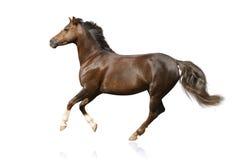 Geïsoleerdt paard Stock Fotografie