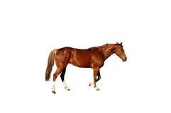 Geïsoleerdw paard Stock Afbeelding