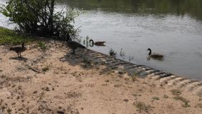 Geórgia no verão, diversos gansos de Canadá que nadam e que andam ao longo do Chattahoochee Rive video estoque