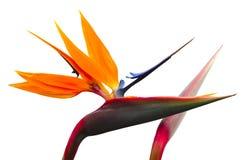 Geöffnete Blume des Kranes Blume mit der Blumenknospe lizenzfreie stockfotos
