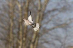 Geöffnete Flügel der Turteltaube Flug stockbild