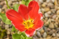 Geöffnete rote Tulpe mit gelber Mitte und Schwarzem zerstößt Nahaufnahme Lizenzfreie Stockfotos