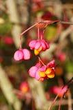 Geöffnete Samenkapseln des europäischen Spindel-Baum Euonymus europaeus Stockfotografie
