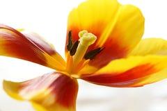 Geöffneter Blumenabschluß oben Lizenzfreies Stockbild