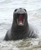 Geöffneter männlicher Jugendlicher des Seeelefant-Munds, Kalifornien lizenzfreie stockfotos