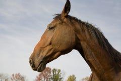 ge ? första erfarenh ? den varma holländska hästen Royaltyfri Foto