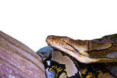 Ge?soleerde Python met een netvormig patroon stock fotografie