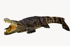 Ge?soleerdeR krokodil royalty-vrije stock foto