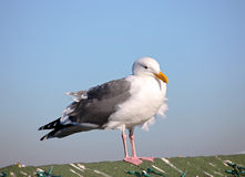 Gea gull Stock Images
