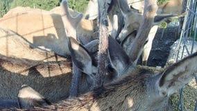 Geacclimatiseerde herten die in een landbouwbedrijf eten stock footage
