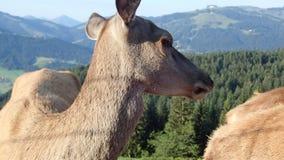 Geacclimatiseerde herten die in een landbouwbedrijf eten stock video