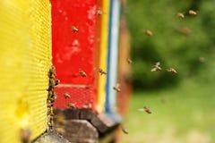 Geacclimatiseerde honingbijen die naar hun bijenstal terugkeren stock foto