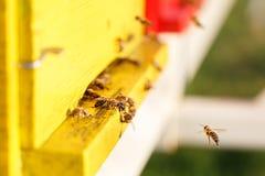 Geacclimatiseerde honingbijen die tijdens de vlucht, naar hun bijenkorf terugkeren Stock Afbeelding