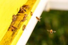 Geacclimatiseerde honingbijen die tijdens de vlucht, naar hun bijenkorf terugkeren stock afbeeldingen