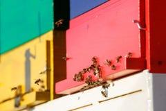 Geacclimatiseerde honingbijen die tijdens de vlucht, naar hun bijenstal terugkeren stock afbeelding