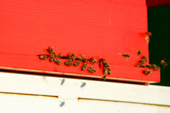Geacclimatiseerde honingbijen die tijdens de vlucht, naar hun bijenstal terugkeren stock foto's
