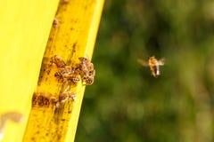 Geacclimatiseerde honingbijen die tijdens de vlucht, naar hun bijenstal terugkeren royalty-vrije stock afbeeldingen