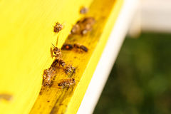 Geacclimatiseerde honingbijen die tijdens de vlucht, naar hun bijenstal terugkeren stock foto