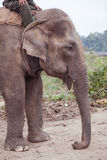 Geacclimatiseerde olifant in Nepal Stock Foto