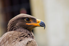 Gead of brown eagle Royalty Free Stock Images