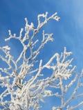 Geada branca no ramo de árvore Imagens de Stock