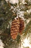 A geada cobriu filiais de árvore Spruce com os cones do pinho Imagens de Stock