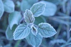 Geada da manhã nas folhas da planta verde Imagem de Stock Royalty Free
