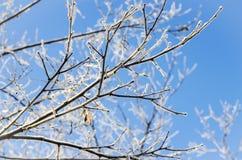 Geada da manhã nos ramos de uma árvore Fotografia de Stock