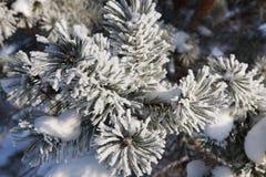 Geada do inverno na árvore spruce Imagens de Stock