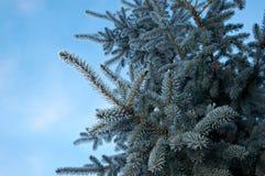Geada do inverno na árvore spruce Imagem de Stock