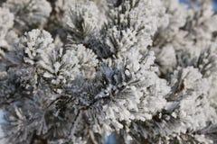 Geada do inverno na árvore spruce Imagem de Stock Royalty Free