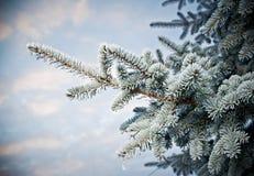 Geada do inverno no close-up spruce da árvore Imagens de Stock Royalty Free