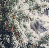Geada do inverno no fim-acima spruce da árvore de Natal Fotos de Stock Royalty Free