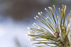 Geada em agulhas da árvore Fotos de Stock Royalty Free